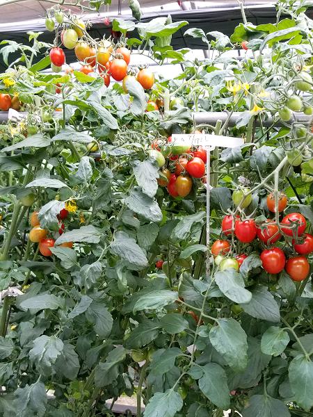 完熟ミニトマト3